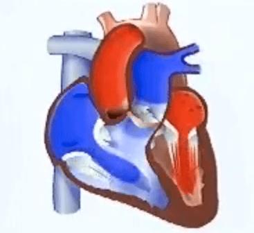 funcionamiento del corazon